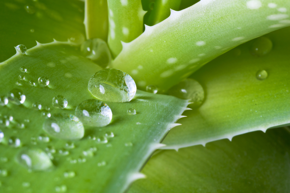 Aloe Vera for treating Mosquito bites